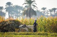 A person and donkey carrying a harvest across a field.