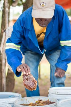 A person pulling a chunk of honeycomb out of a large white bucket.