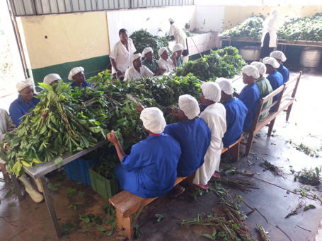 Shekina Foods helps smallholder farmers transform the leaves of cassava shrubs into sustainable food products.