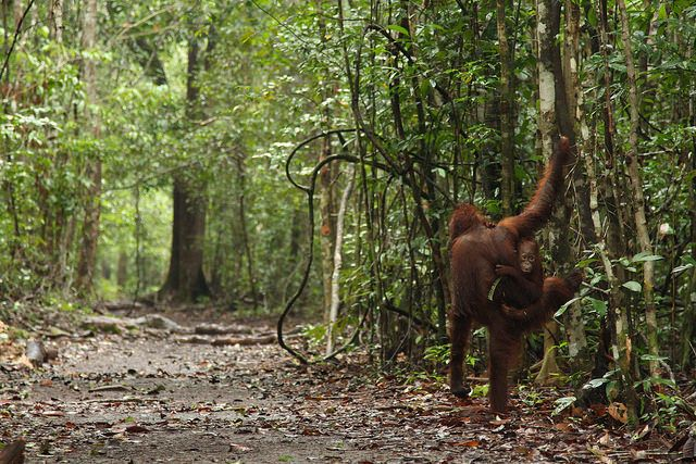 Orangutans at Camp Leakey, Central Kalimantan, Indonesia