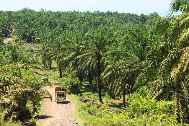 oil palm in Sumatra, Indonesia