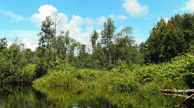Peat swamp forest in Central Kalimantan, Indonesia