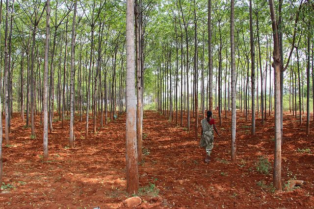 Plantation for plywood production in Mettupalayam, India.