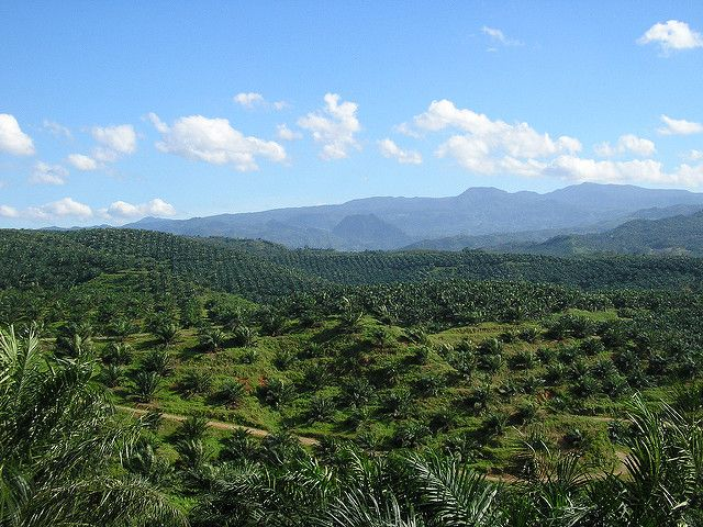 An oil palm plantation in West Java, Indonesia.