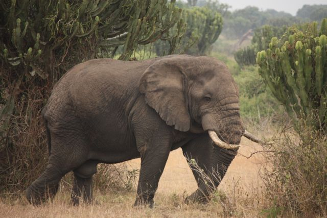 Elephants are hunted for their ivory tusks. Flickr/Lukas Vermeer