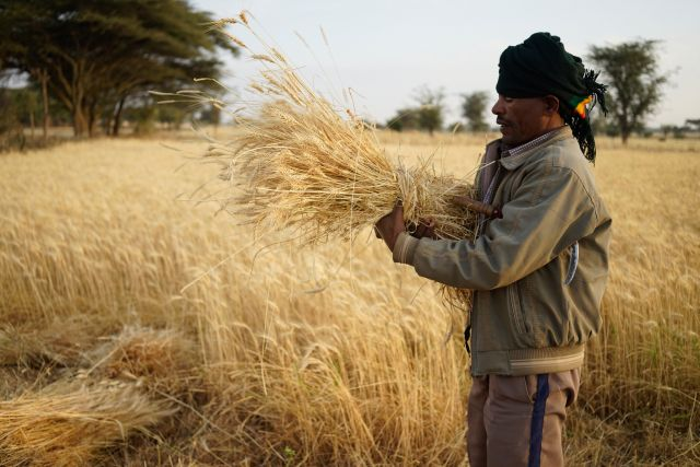 Farmer harvests wheat in Mojo, Ethiopia. Photo by Peter Lowe/CIMMYT
