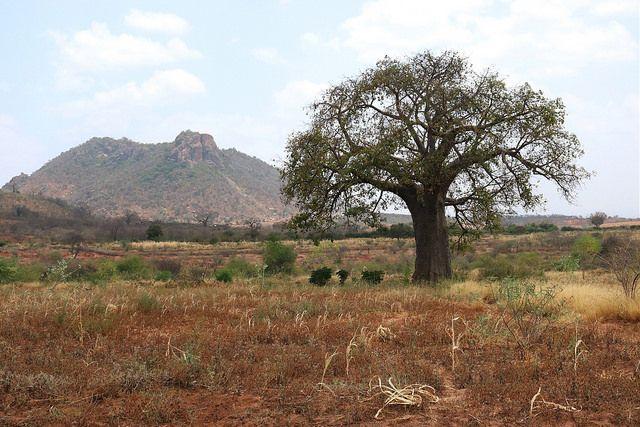 Baobab tree on the edge of Kenyan farmland