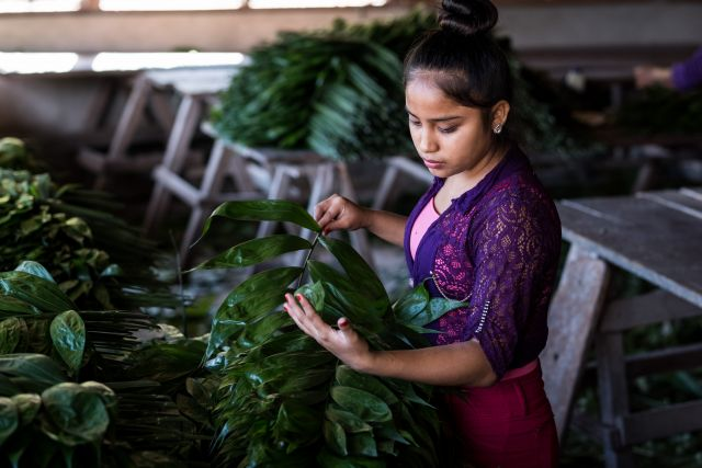 A woman sorting plants in Guatemala. Flickr/USAID Biodiversity & Forestry