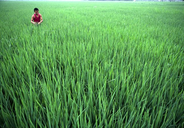 Rice farmer in Chengdu. Rice cultivation can release methane. Flickr/UN Photo.