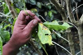 Climate change threatens Arabica coffee plants in Colombia. Credit: CIAT/flickr