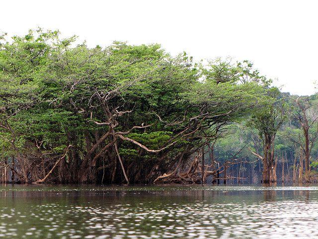 Rio Urubu Trees