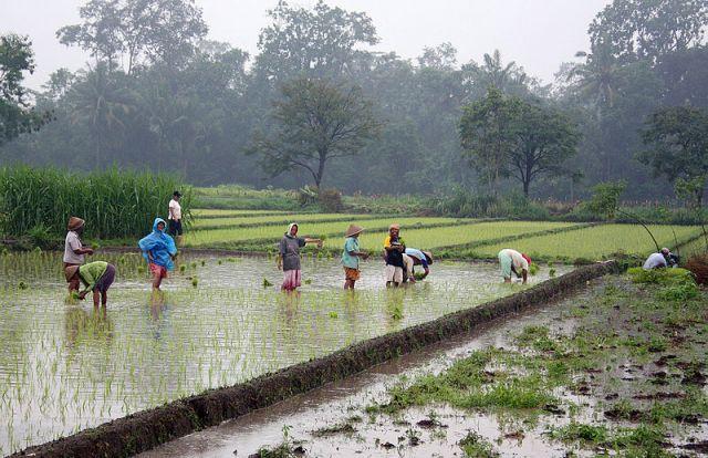 Farming rice near Yogyakarta. Photo by Gunawan Kartapranata/Wikimedia