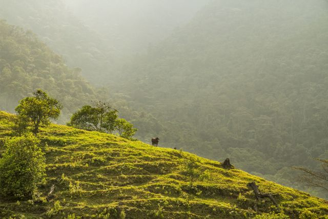 A cow grazes on a grassy hill, with forested hills in the misty background.