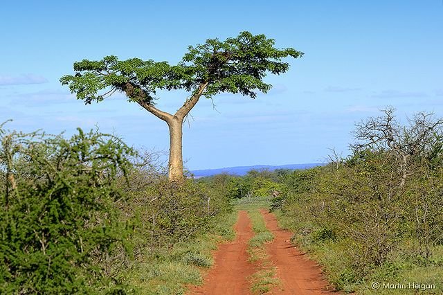 A babao tree in Zimbabwe. Planting hundreds or even millions of trees does not automatically translate into an increase in the overall long-term tree population. Photo Credit: Martin Heigan/Flickr