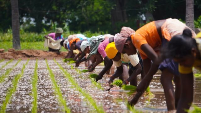 Women plant rice in Tamil Nadu, India.