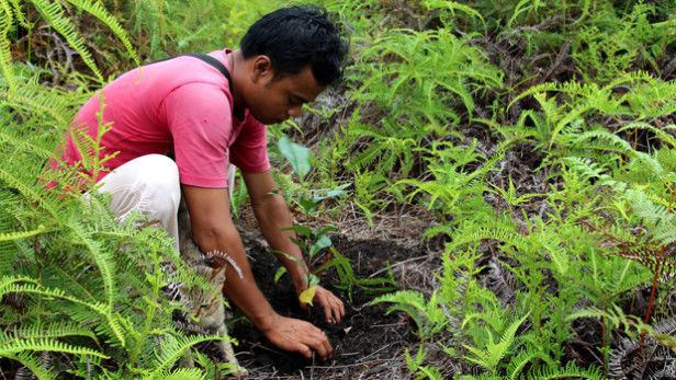 A staff member from the Pesalat Reforestation Project in Central Kalimantan, Indonesia (on the island of Borneo) is replanting trees in vital peat swamp forest areas, which were cleared by fires and logging. Restoring degraded land may be the answer to food scarcity, deforestation and desertification. Photo Credit: WRI