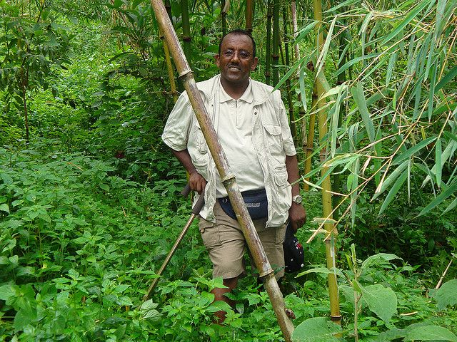 Ethiopia is home to the largest area of natural bamboo in Africa. (Ethiopia) Photo by Bureau of IIP/Flickr.