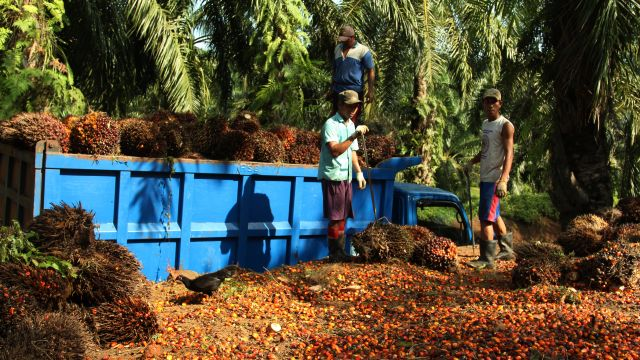 Oil palm fruit is loaded into a truck at a plantation near Bengkulu, Sumatra. Photo: WRI/ James Anderson