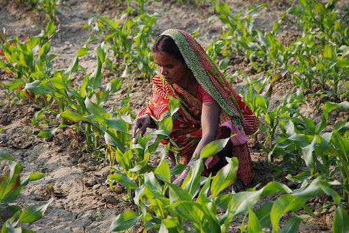 India has long-battled its water scarcity issues throughout an approach called watershed development. Photo credit: M. DeFreese/CIMMYT