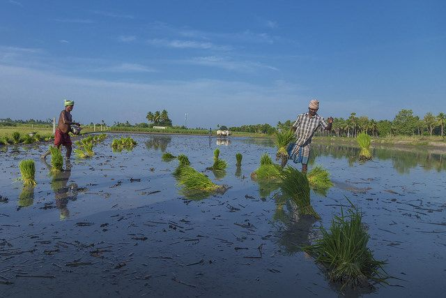 Rice farmers in India's Tiruvannamalai District. Photo by R.Amudha HariHaran/Flickr