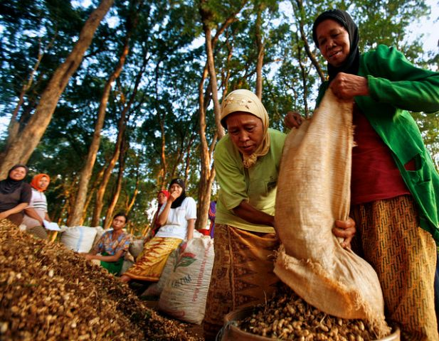 Women in Indonesia's teak forest harvest ground nuts. Photo credit: Murdani Usman, Center for International Forestry Research (CIFOR)