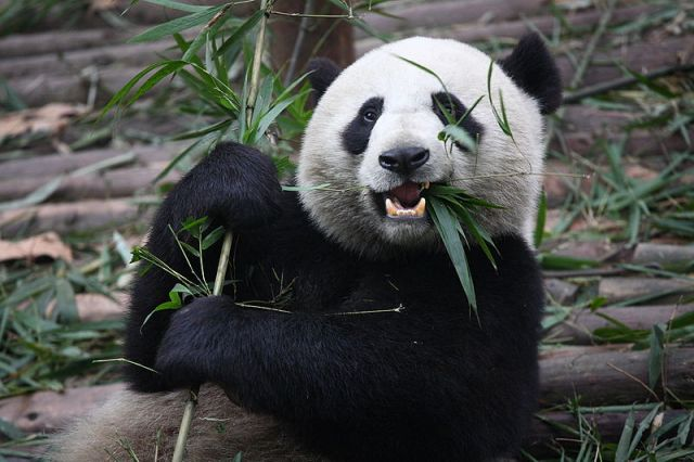 Bamboo is not just for pandas--it could play a key role in forest and landscape restoration. Photo credit: Chen Wu, Wikimedia Commons