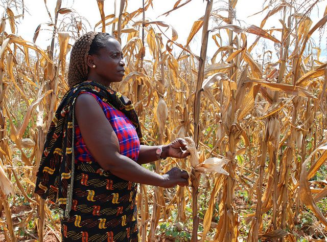 Tanzanian farmer with drought-affected maize.Climate change affects businesses, communities, government, and more, so it cannot be addressed without a range of actors stepping up. Photo Credit: Anne Wangalachi/CIMMYT