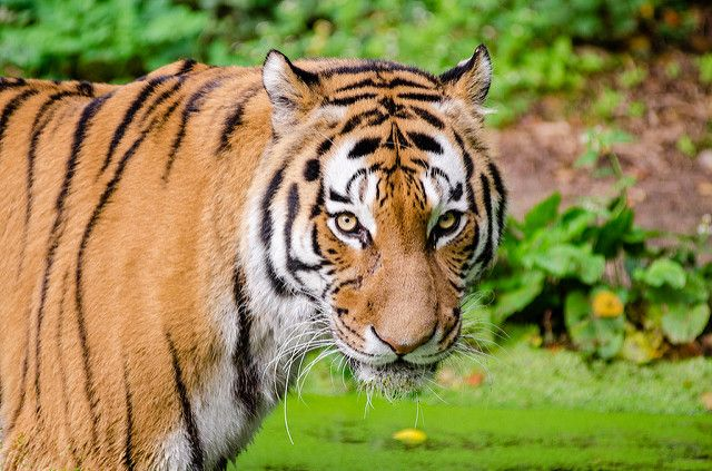 Fewer than 3,500 tigers remain in the wild today. Photo credit: Mathias Appel/flickr