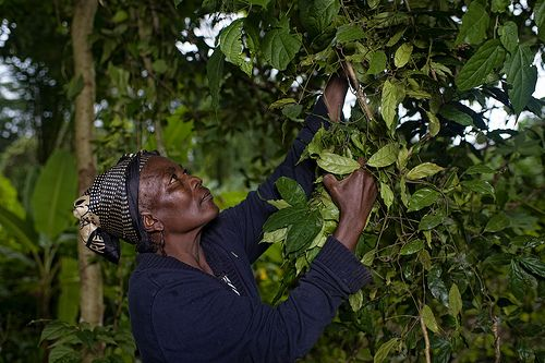 Legally recognized community forests store about 37 billion tonnes of carbon. Photo credit: Ollivier Girard, CIFOR