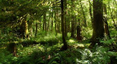 Bigleaf maple forest.