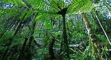 Cyathea Papua Rain Forest Papua-Indonesia