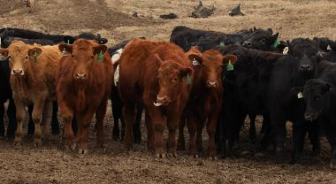 Beef comprise a significant portion of agricultural emissions. Flickr/uacescomm