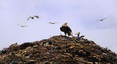 Bald Eagle at Tomoka Landfill