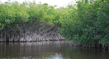 Mangroves by a river.