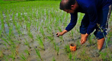 Reducing flooding in rice paddies can dramatically reduce greenhouse gas emissions, and can also help conserve water and boost yields. Photo by IRRI.