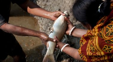 On average, farmed fish convert feed to edible food as efficiently as poultry, making them an attractive option for expanding the global animal protein supply. However, as with all forms of food production, aquaculture isn't without its environmental impacts. Photo credit: WorldFish/Mike Lusmore/Duckrabbit