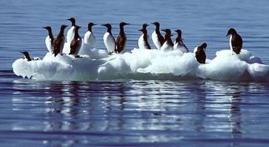 Common murres in the North Pacific