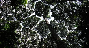 A view from below of the rainforest canopy in Malaysia.