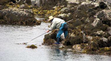 Seaweed harvest in Japan