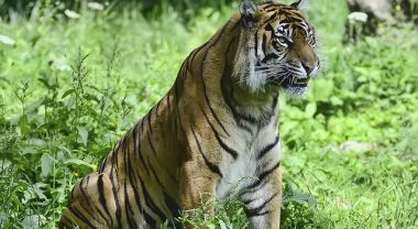 Tesso Nilo is home to endangered species like the Sumatran tiger. Photo by Steve Wilson/Flickr