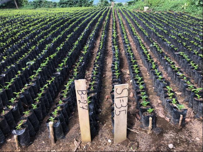 <p>Un productor en Coto Brus cultiva y experimenta con diferentes variedades de café para observar cuáles tendrán un mejor rendimiento y resiliencia climática. Fotografía: Stefanie Tye</p>