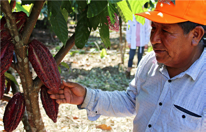 <p>AIDER helps cocoa farmers in Peru grow trees on their farms, boosting their yields and protecting forests. Photo by Natasha Ferrari/WRI</p>