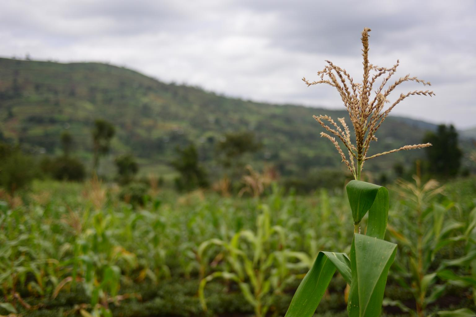 <p>Maize on a farm in Ethiopia, where the agriculture and power sectors can help each other develop. Photo by Nesbitt/UNICEF Ethiopia.</p>